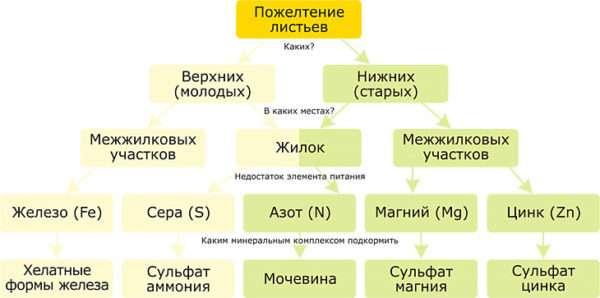 Схема причин пожелтения листьев