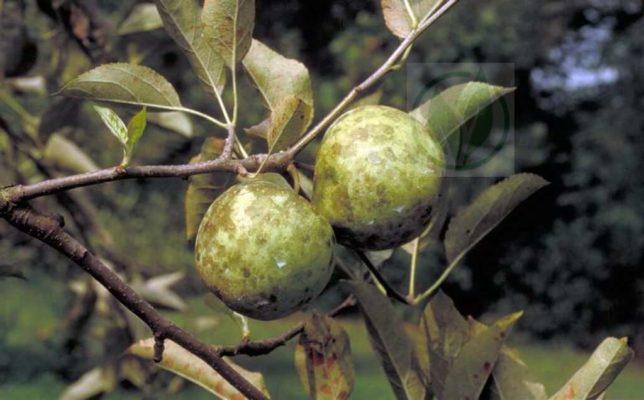 Сажистый грибок на яблоках