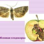 Рисунок: яблонная плодожорка