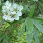 Цветы груши иволистной