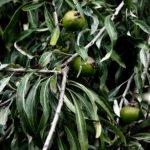 Плоды груши иволистной