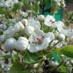 Цветы груши сорта Красавица Черненко