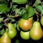 Плоды груши сорта Чижовская