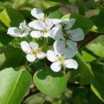 Цветы груши сорта Чижовская