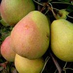 Плоды груши сорта Велеса