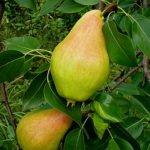 Плоды груши сорта Видная