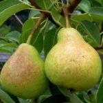 Плоды груши сорта Верная