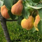 Плоды груши сорта Детская