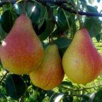 Плоды груши сорта Любимица Яковлева