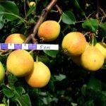 Плоды груши сорта Невеличка