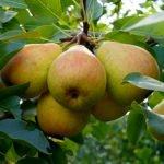 Плоды груши сорта Памяти Яковлева