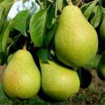Плоды груши сорта Северянка