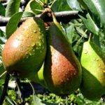 Плоды груши сорта Юрьевская