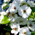 Цветы груши сорта Белорусская поздняя