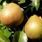 Плоды груши сорта Белорусская поздняя