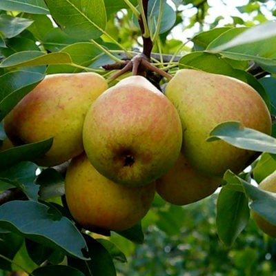 Ветка с плодами груши сорта Памяти Яковлева