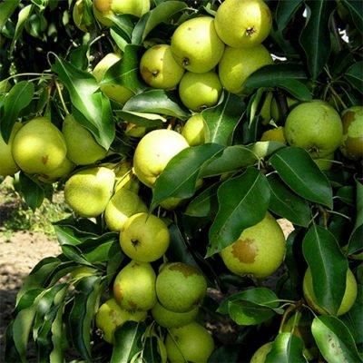 Плоды груши сорта Скороспелка из Мичуринска