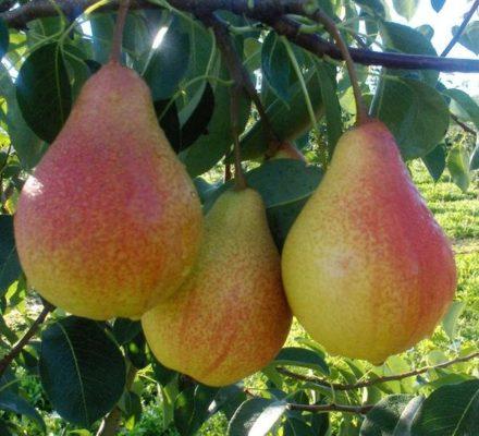 Ветка с плодами груши сорта Любимица Клаппа