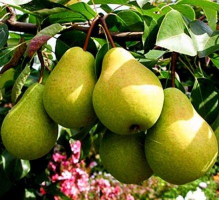 Ветка с плодами груши сорта Чижовская