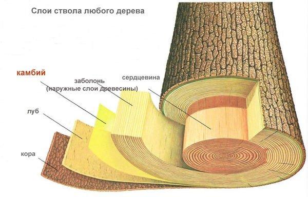 Ствол (ветка) в разрезе