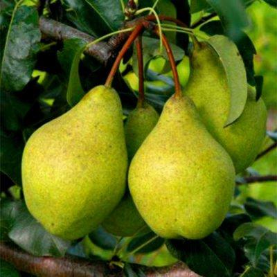 Плоды груши сорта Просто Мария