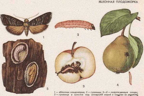 Рисунок стадий развития яблонной плодожорки