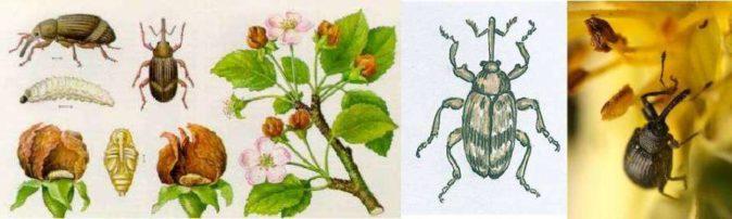 Коллаж — яблонный цветоед