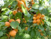 Абрикос (Apricot)