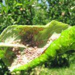 Лист яблони, поражённый тлёй