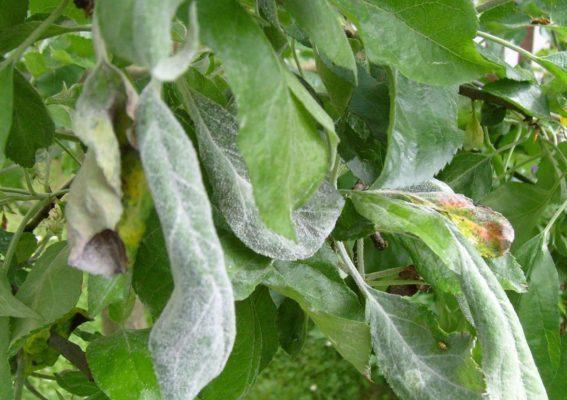 Листья яблони, поражённые мучнистой росой