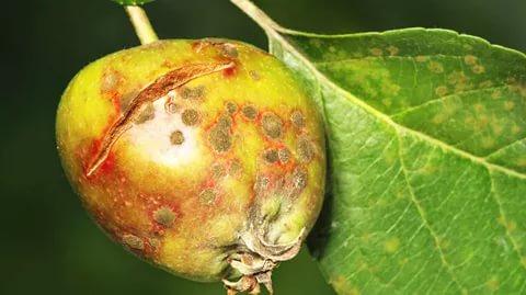 Яблоко, поражённое паршой