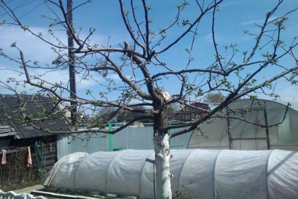 Яблоня с чашеобразной кроной