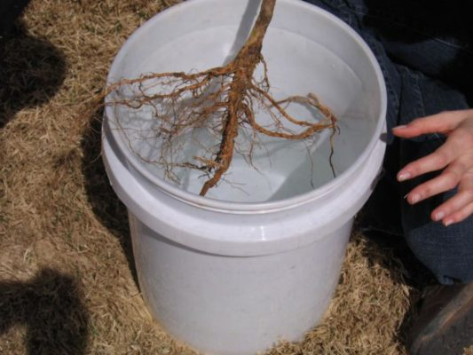 Замоченные в воде, корни саженца