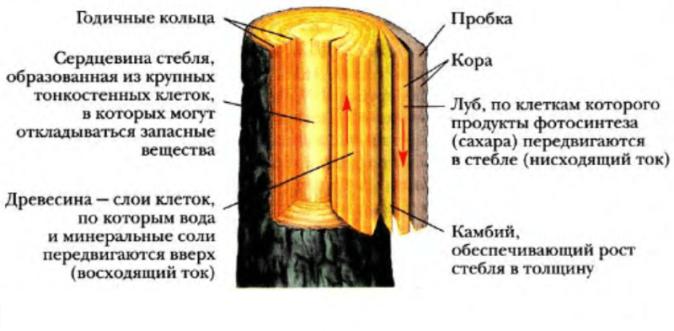 Внутреннее строение ветки