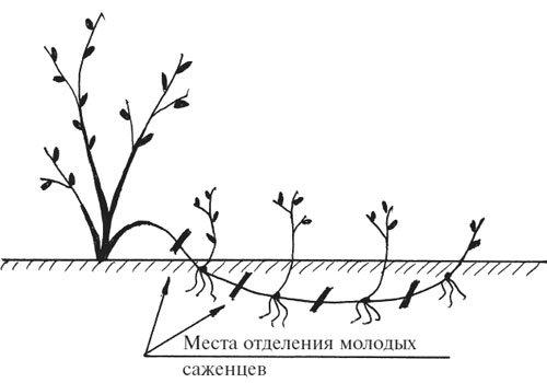 Размножение малина ремонтантная посадка и уход в открытом грунте