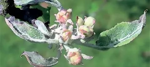 Листья и соцветия яблони, поражённые мучнистой росой