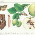 Яблонная плодожорка — ботанический рисунок