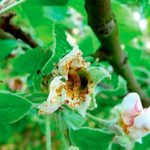 Цветок яблони, поражённый цветоедом