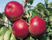 сеянцы яблони