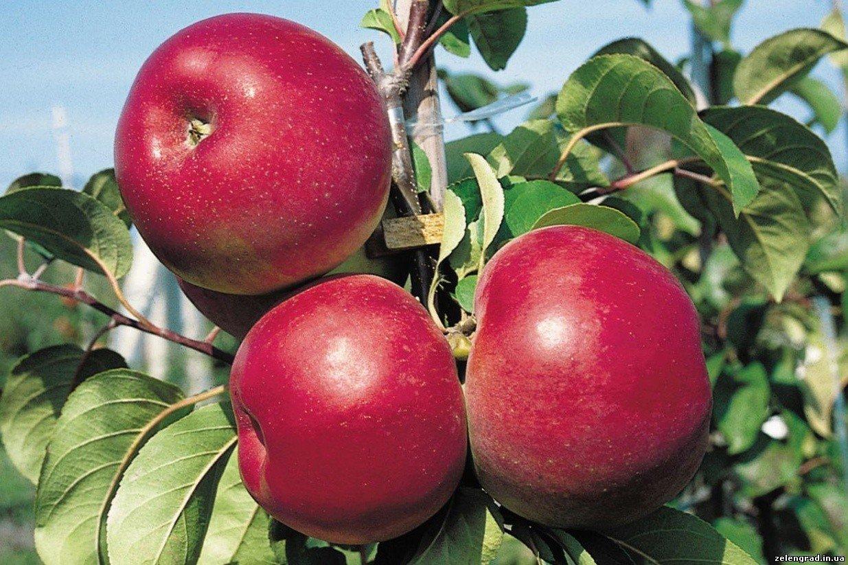 будет ли плодоносить яблоня выращенная из косточки