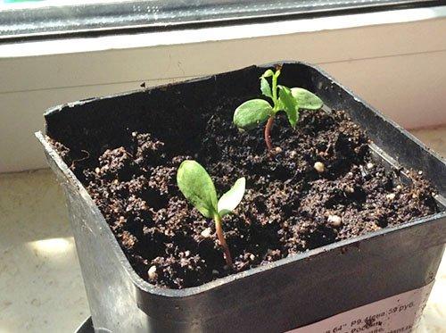 Проращивание семян яблони дома