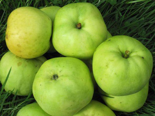 Плоды яблони Антоновка белая