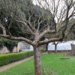 Дерево яблони с кроной в форме чаши