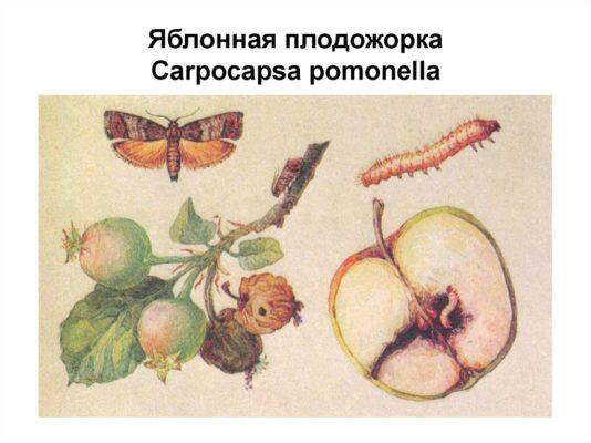 Ботаническая иллюстрация — яблонная плодожорка
