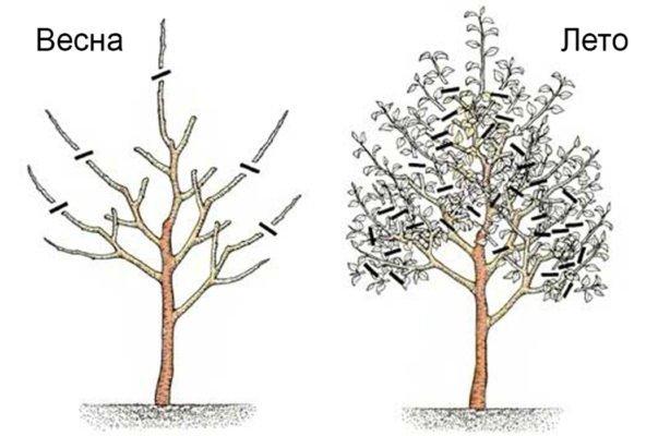 Третий год формирования кроны грушевого дерева