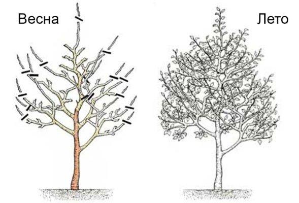 Поддержание формы кроны. Обрезка взрослого дерева