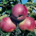Яблоки Фуджина