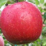 Яблоки Фуджи кику