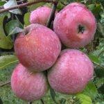 Яблоки Тоширо фуджи