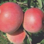 Яблоки Ятака